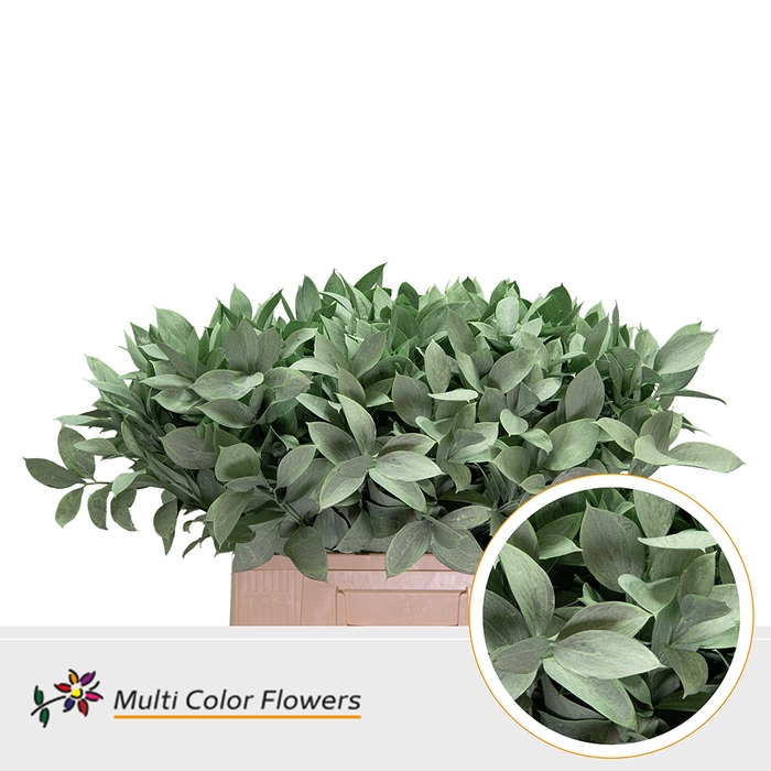 <h4>Ruscus Frost Mint</h4>