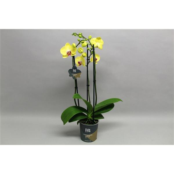 <h4>Phalaenopsis Geel 3 tak Georgeous Gold</h4>
