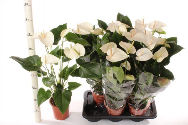 Anthurium White Winner 17Ø 80cm 6Flow