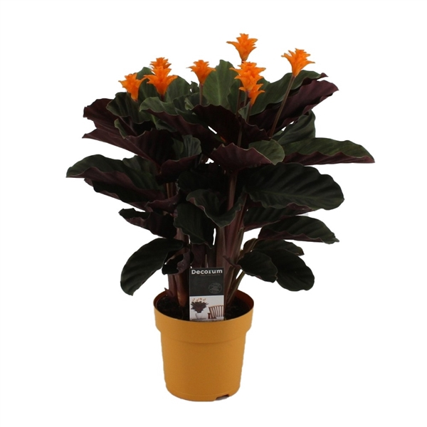 <h4>Calathea Crocata Candela 5/6 in oker geel DECORUM</h4>