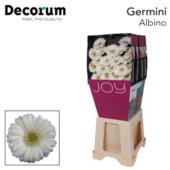 <h4>Germini Albino</h4>