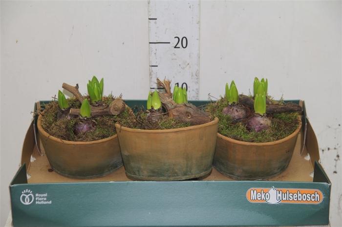 <h4>Arr Hyacinth In Stenen Schaaltje Ovaal</h4>