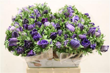<h4>Anem Beauty Blue</h4>