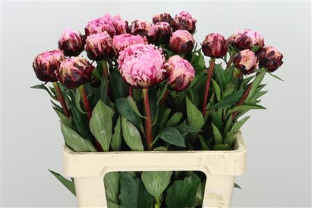 <h4>Paeonia The Fawn</h4>