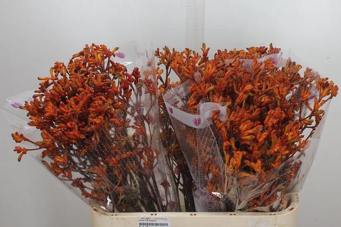 <h4>Anigoz Ov Oranje</h4>