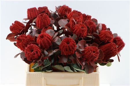 <h4>BANKSIA COCCINEA RED</h4>