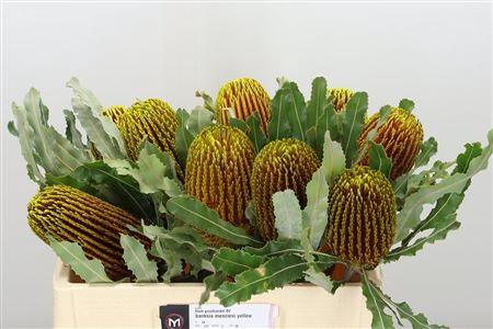 <h4>Banksia Menziesi Yellow</h4>