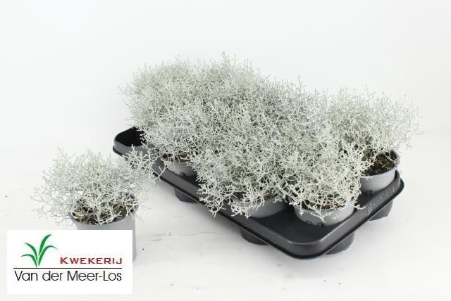 <h4>Leucophyta brownii Silvercalos</h4>