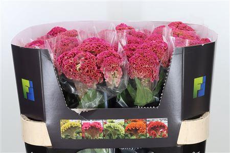 <h4>Celosia C Reprise Rose</h4>