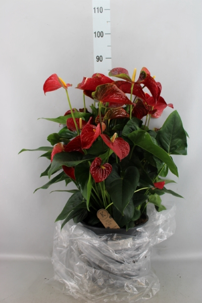 <h4>Anthurium andr. 'Sierra'</h4>