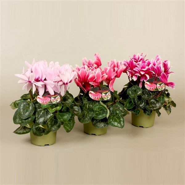 <h4>Cyclamen Halios Fantasia</h4>