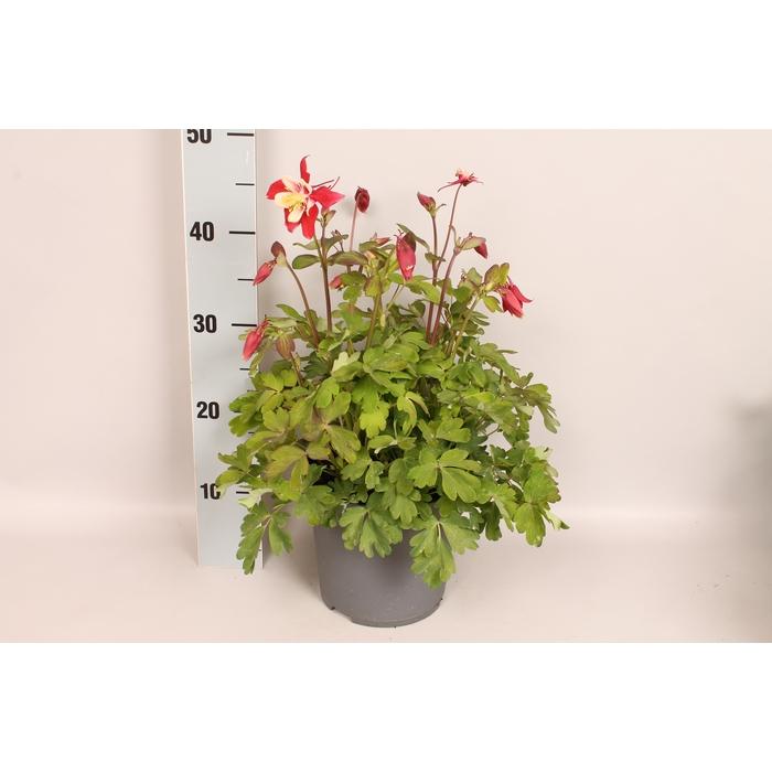 <h4>vaste planten 19 cm  Aquilegia Red & White</h4>