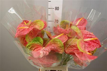 <h4>Anthurium A Pink Jesolo</h4>
