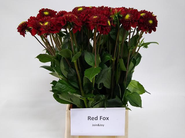 <h4>DAHL RED FOX</h4>