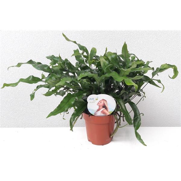 <h4>Microsorum diversifolium Air So Pure</h4>