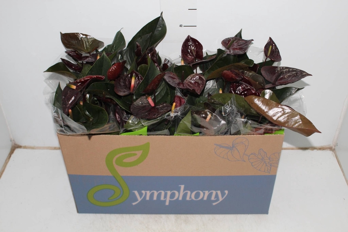 <h4>ANTHURIUM BLACK LOVE P15</h4>