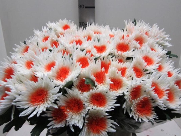 <h4>Chr G Ana Wit / Oranje</h4>