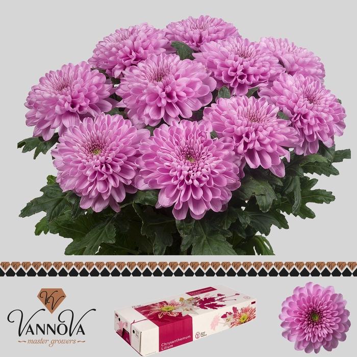<h4>Chrysanthemum PL 'Ksenia'</h4>