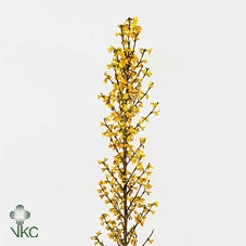 <h4>Forsythia Yellow</h4>