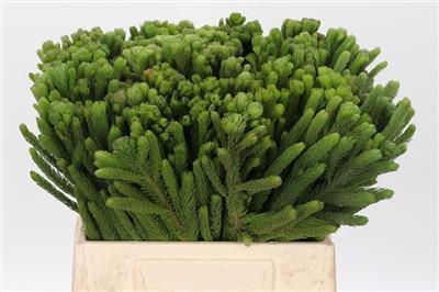 <h4>Albiflora/albigreen P.bl</h4>