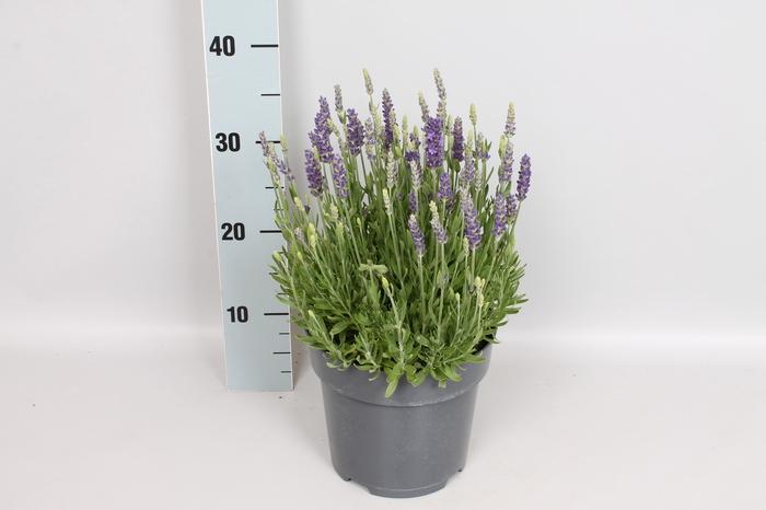 vaste planten 19 cm  Lavendel Spear Blue