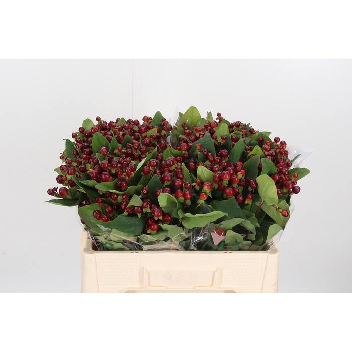 <h4>Hyp Mag Cherry</h4>