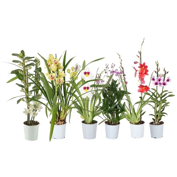 <h4>Orchidee mix 2t</h4>