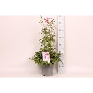 vaste planten 19 cm  Anemone Praecox
