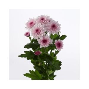 Chrysanthemum spray dante rosa
