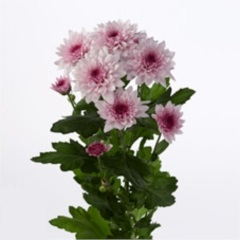<h4>Chrysanthemum spray dante rosa</h4>