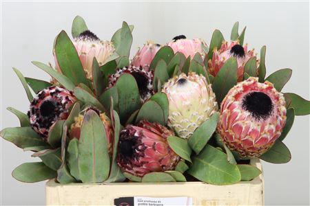 <h4>Protea Barbigera</h4>
