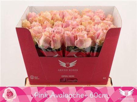 <h4>R Gr Pink Avalanche+</h4>