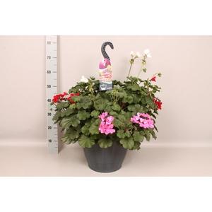 Hangpot 37 cm met waterreservoir mix met Geranium