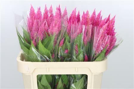 <h4>Celosia Plume Bright Pink Sunday</h4>