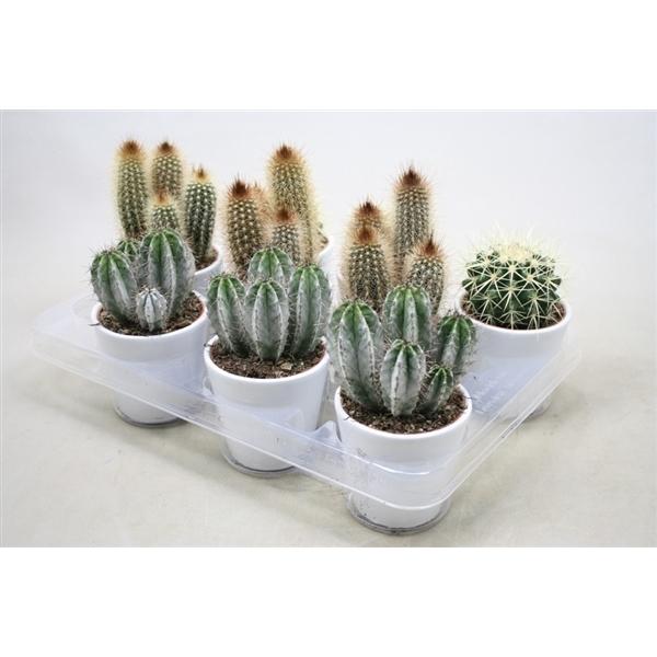 <h4>Cactus gemengd In witte pot</h4>
