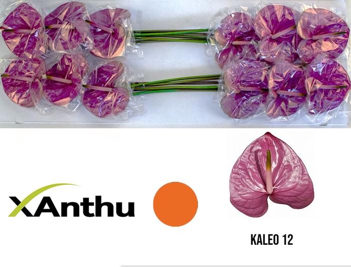 <h4>ANTH A KALEO</h4>