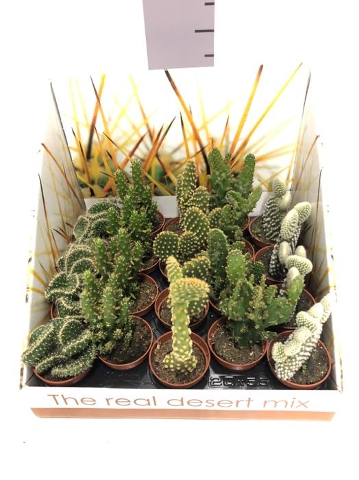 <h4>Opuntia (Schijfcactus) 5,5Ø 22cm ShowBox</h4>