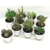 Cactus gemengd