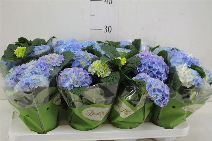 <h4>Hydrangea Early Blue 3+</h4>