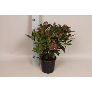 Skimmia jap. 'Rubella' 30/40 bloem