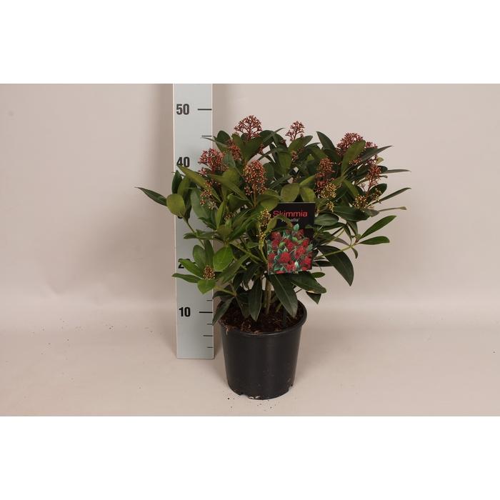 <h4>Skimmia jap. 'Rubella' 30/40 bloem</h4>