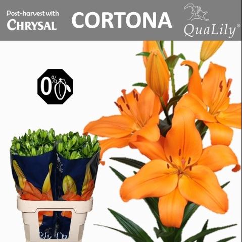 <h4>Li La Cortona</h4>