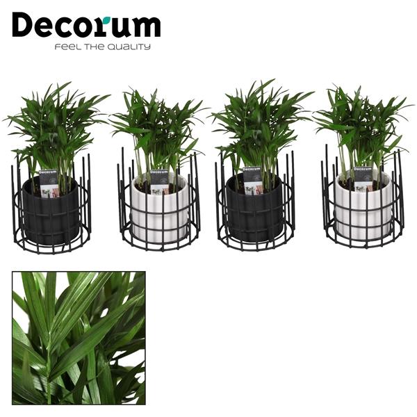 <h4>Chamaedorea Elegans 7 cm in pot Dani (Decorum)</h4>