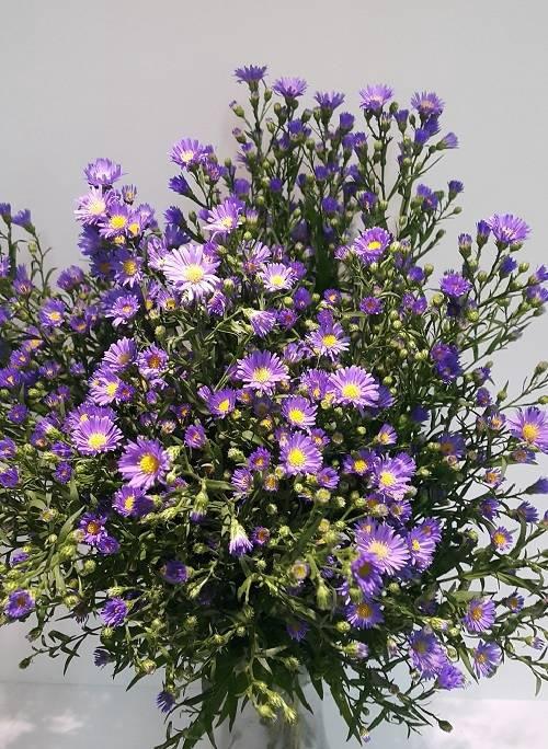 <h4>Aster Monarch Purple</h4>