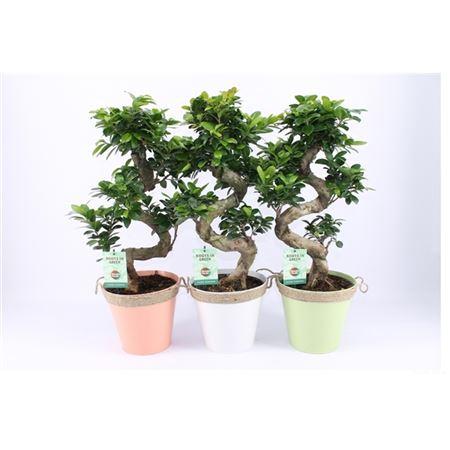 <h4>Ficus Mi Ginseng Zink Zomers Met Touw</h4>