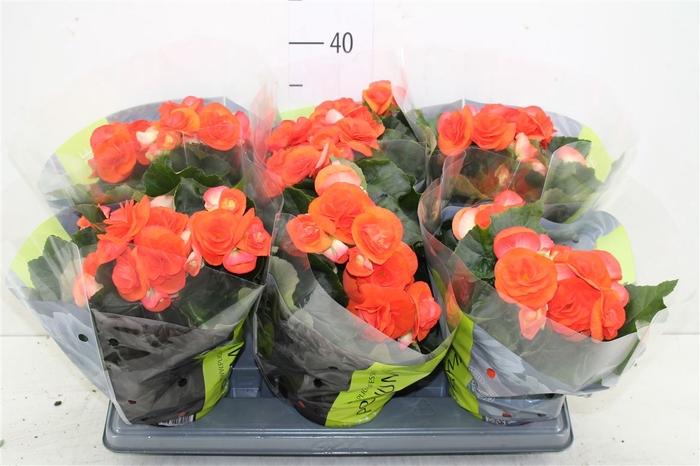 <h4>Begonia Du Oranje</h4>