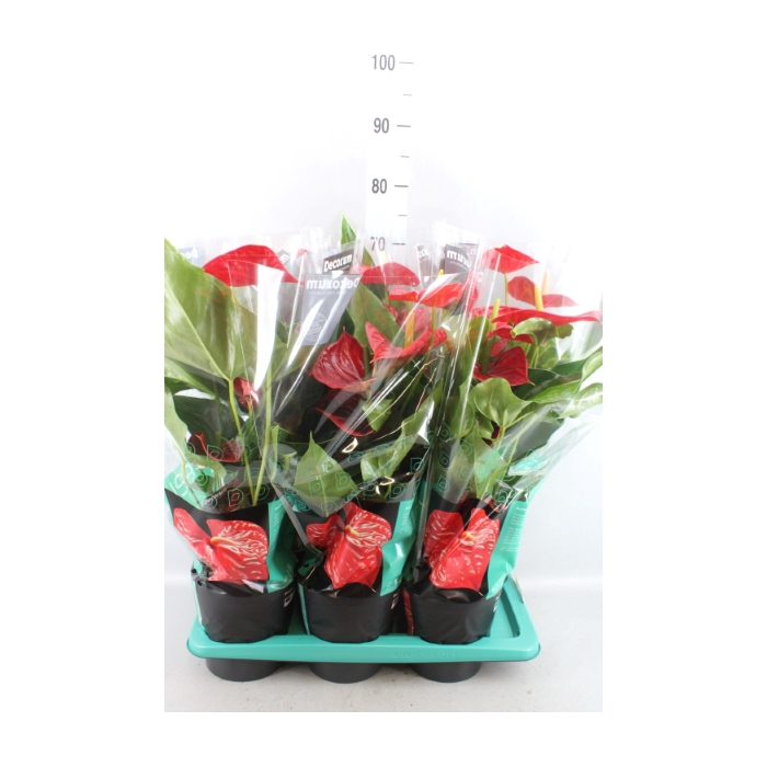 <h4>Anthurium andr. 'Michigan'</h4>