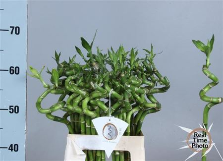 <h4>Drac S Lucky Bamboo</h4>