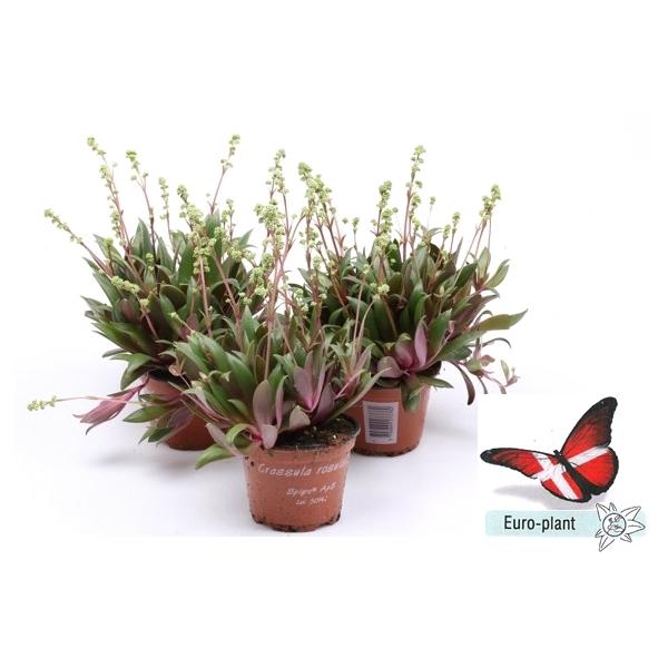 <h4>Crassula rosularis</h4>