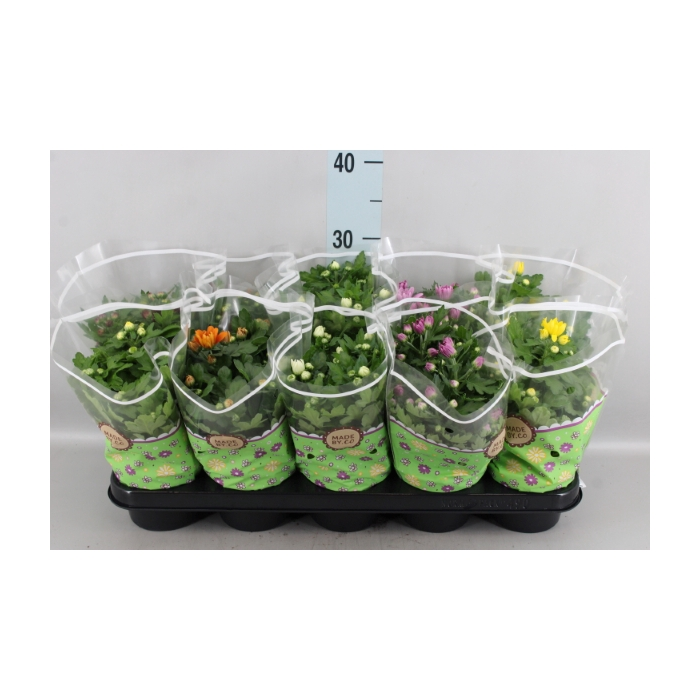 <h4>Chrysanthemum    ..mix 5</h4>